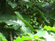 1000 mg green coffee extract