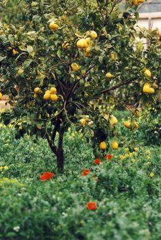 Zitronenbaum, Foto: S. Hopp