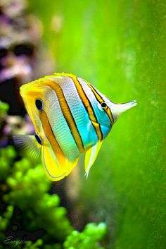 Butterflyfish -  The butterflyfishes are a group of conspicuous tropical marine fish of the family Chaetodontidae; the bannerfish and coralfish are also included in this group