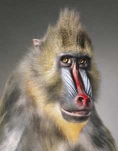 Photographer Tim Flach created this amazing 'More Than Human' Photography Series. The animal portraits are so sharp, vibrant and so almost human, a completely other take than standard animal wildlife photography. Animals Images, Animals And Pets, Animal Pictures, Cute Animals, Daily Pictures, Wild Animals, Wildlife Photography, Animal Photography, Human Photography