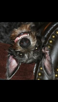 Ricochet the Scottish Deerhound