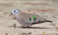 Emerald-spotted Wood Dove (Turtur chalcospilos) by Ian N. White on Flickr (cc)