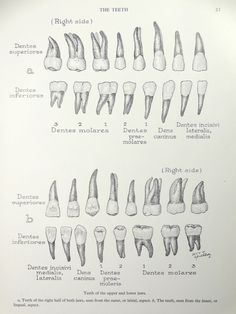 1950's Teeth Human Anatomy Original Vintage Print by oddlyends, $10.00