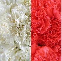 Carnations Wedding Pack, White and Red (200 stems)
