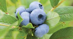 Tui Garden | Blueberry Growing Guide