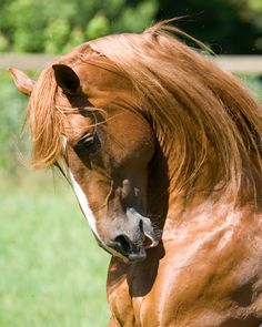 Andalusian Stallion named Diego MC - nickname Red Horse - Tintagel Andalusian Horses