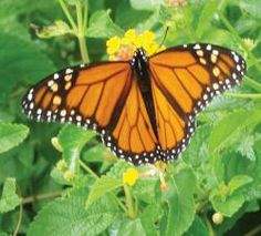 Add a Monarch waystation to your property