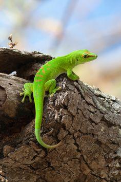 Giant green day gecko by François Dorothé, via 500px