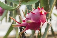 Pitahaya Information: Learn How To Grow Dragon Fruit -  If you want to grow dragon fruit at home, you'll be rewarded not only with fruit, but also with an impressive, branching cactus vine and brilliant, night-blooming flowers. This article provides info on how to grow dragon fruit.