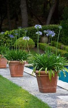 I bought a large agapanthus today. It's definitely going in a container. OliveOut