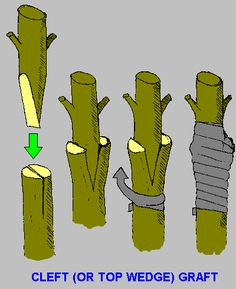 Tree Grafting; my next project! :)