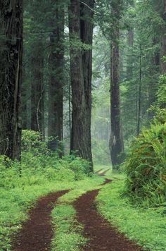 """Old Highway 101 with Coast Redwoods""  by Danita Delimont"