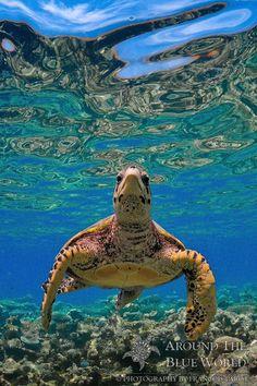 Sea Turtle by Francois Parot Baby Sea Turtles, Cute Turtles, Underwater Creatures, Ocean Creatures, Sea Turtle Pictures, Animals Beautiful, Cute Animals, Tortoise Turtle, Turtle Love