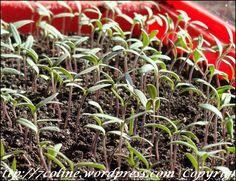 rasaduri de rosii 14 Vise, Culture, Plant
