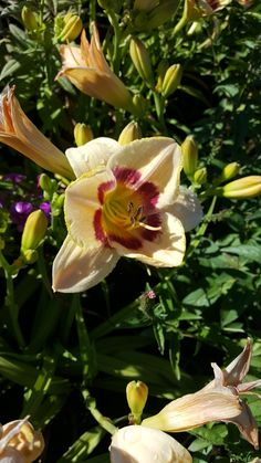 Re-blooming throughout the summer Tall Full sun to partial shade Zone 4 Perennials, Day Lilies, Lawn Care, Plymouth, Bloom, Sun, Landscape, Plants, Summer