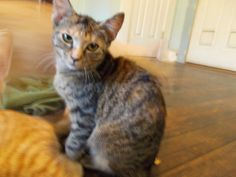 Penny is a 4 month old kitten.  She was feral when surrendered to animal control.  After a long adjustment she turned into a loving little girl.  She is good with dogs, cats, and children.Make a donation in this cat's name at...