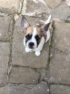 Our newest and youngest member of the crew  www.themuttleycrewmanston.co.uk   #squishyface #puppy #frenchie Corgi, Puppies, Animals, Animales, Corgis, Animaux, Puppys, Animais, Newborn Puppies