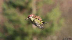 Dammit, Mother Nature: Amateur Photographer Catches Weasel Riding On The Back Of Flying Woodpecker