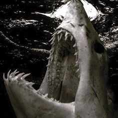 oceansrealm:  Shortfin Mako Shark - Isurus Oxyrinchus