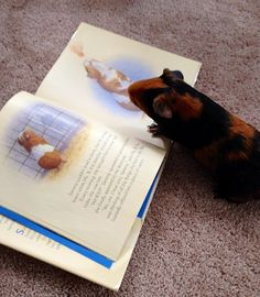 ha! The guinea pig in this book is in its cage…not me, I'm OUT!