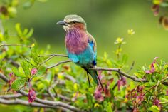 Flock to the Luangwa Valley - http://www.zambezitraveller.com/luangwa/birding/flock-luangwa-valley (Lilac-brested roller - Image credit Tom Varley)