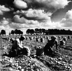 Potato farming in the 60's, once Long Island's most lucrative crop. See what our farms have become, follow this link to some pick-your-own establishments! Photo Credit: Newsday