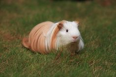 Please share if you like this!  silkie guinea pig | long haired guinea pig