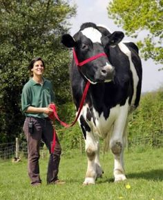 FROM ANIMALS THAT ACTUALLY EXIST:  Big Cow Chilli, also known as the gentle giant, is a 6-foot 6-inch bovine that weighs well over a ton. Regardless of his giant stature, Chili is a sweet natured boy who just wants to be a lap-cow.