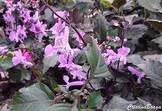 A Ametista e uma herbácea, pertence à família Lamiaceae, nativa da África do…