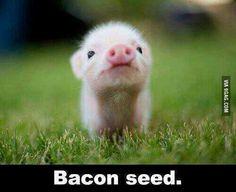 Little bacon seed