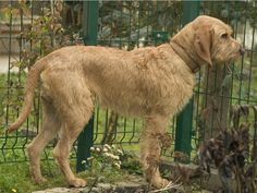 The Griffon Fauve de Bretagne was bred in medieval France for hunting wolves.  By 1570 it was one of four distinct French hound varieties.  The Griffon is good with children & other dogs, tolerant of cold, and easy to train, but not suited to urban living.