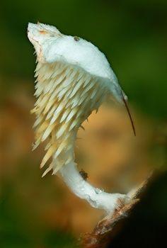 Beenakia decostae by MycoImage, via Flickr, taken in August 2008 in Central Highlands, Tasmania, AU.