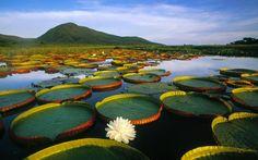 Victoria Amazónica, La Planta Que Puede Superar Hasta 40 Kg De Peso