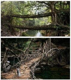 500 year old rubber tree root bridges deep in the rainforests of the Indian state of Meghalaya. Take me there...