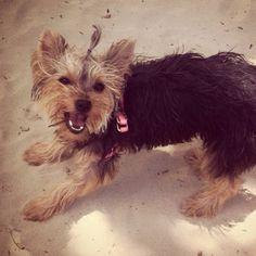My beach yorkie Yorkie, Gucci, Beach, Dogs, Animals, Yorkies, Animales, The Beach, Animaux