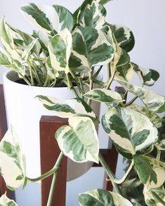 My pothos n'joy wasn't getting enough light and its variegation was growing a little yellow. I've since moved it and it is now doing much better! Tropical Plants, Cactus Plants, Garden Plants, Planting Succulents, Planting Flowers, Pothos Plant Care, Plantas Indoor, Variegated Plants, Plants Are Friends