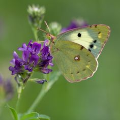 justbelieve2him:  Clouded yellow butterfly
