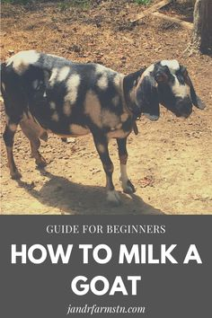 How to milk a goat: my simple routine for beginning milkers. If you have ever wanted to milk your own goat but not sure how to start...look no further! #goats #milkinggoats #dairygoats #howtomilkagoat #homesteading #farmlife Raising Farm Animals, Raising Goats, Raising Chickens, Milk Pail, Petting Zoo, Baby Goats, Farms Living, Urban Farming, Zoo Animals