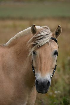 Norwegian Fjord Horse ~ So gentle ~ Some day. brennanmoore