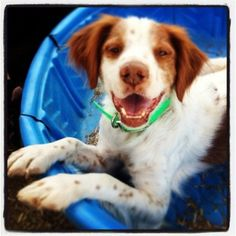 Brittany Spaniel Cody in kiddie pool but without the water. Lol