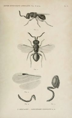 Conostigmus Rodhaini n. sp. proctotrypide endoparasite des pupes de Glossina palpalis - BioStor