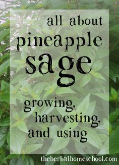 Wondering how to use your Pineapple Sage in your cooking? Eager to add this beautiful, fragrant herb to your garden? I've had Pineapple Sage growing in my garden for years. Sage Herb, Sage Plant, Sage Recipes, Herb Recipes, Baking Recipes, Sage Uses, Pineapple Planting, Dried Pineapple, Edible Garden