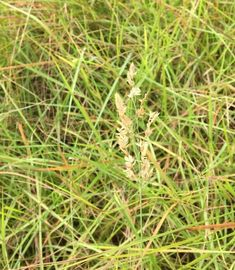 Eragrostis capensis Heart -seed love grass Grasses, Seeds, Park, Lawn, Grass, Parks, Herb