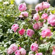 Constance Spry Climbing Roses, Constance Spry, Spring Hill Nursery, Every Rose, Growing Roses, David Austin Roses, Hybrid Tea Roses, Rose Wallpaper, Purple