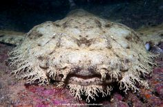 Wobbegong shark – Some of the most interesting and fascinating creatures found in ocean, sharks are actually of over 400 species and people only know a few of them. Only few people are aware of the existence of wobbegong shark.
