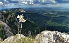 mountain flower(Floare de colt) in its natural environment on Hasmasul Mare Carpathians Beautiful Places To Visit, Places To See, Wonderful Places, Visit Romania, Birds Eye View, Amazing Nature, Cool Pictures, Rafting, Around The Worlds
