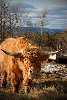 highland cow...These furry beasts can withstand the snow and cold....no where else in the world can you see this animal..