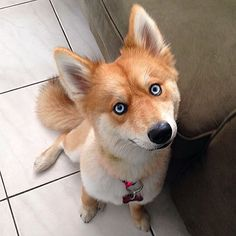 If you think that this beautiful creature is a fox, think again. Nor is it a fire-type Pokémon or the fox from the Mozilla Firefox icon. It's a Pomsky. Called Mya. And it might just be the cutest dog we've ever seen.