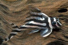 L46 - Imperial Zebra Pleco.. I will add him to my fish tank..