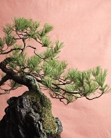 Bonsai Trees - An introduction to the ancient art of bonsai inspires a lifetime of admiration and learning.